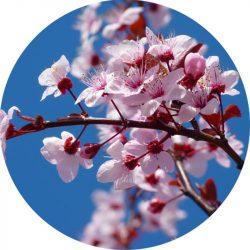 Cseresznyevirág illatolaj