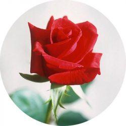 Rózsa illatolaj