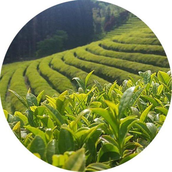 Zöld tea illatolaj