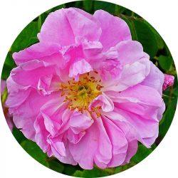 Rózsa illóolaj