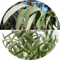 Eucaliptus & White Thyme illóolaj - 10 ml
